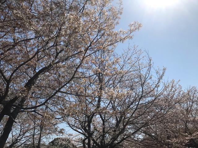 柏の葉公園のさくら